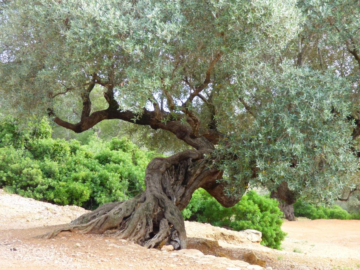 El Maestrat, la zona con más olivos milenarios del mundo