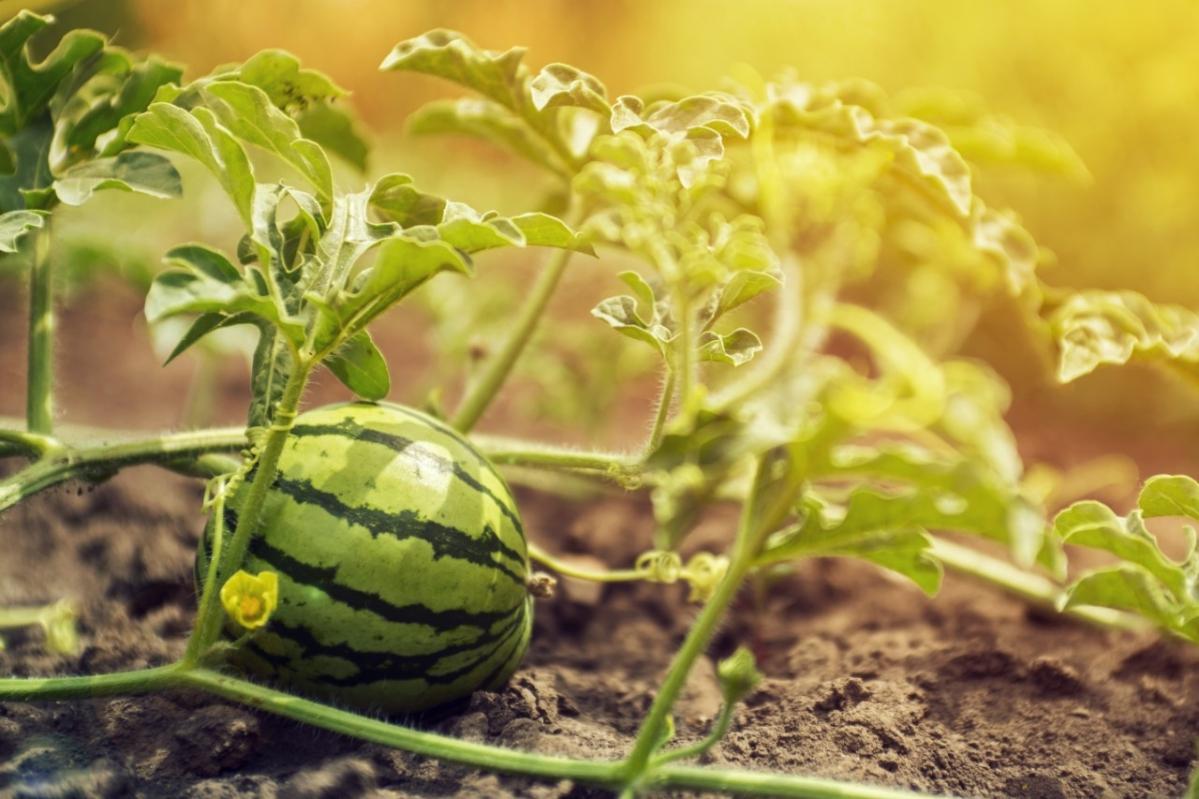 Melones y sandías, ¡será por variedad!